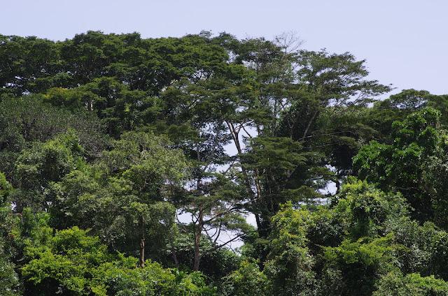 La forêt vue depuis La Nyong à Ebogo. Cameroun, 8 avril 2012. Photo : J.-M. Gayman