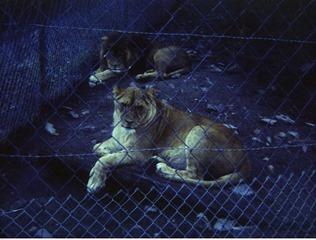 1982.07.15-034.05 lions