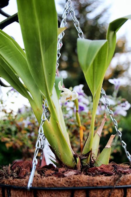 Maxillaria augustae-victoriae IMG_8361