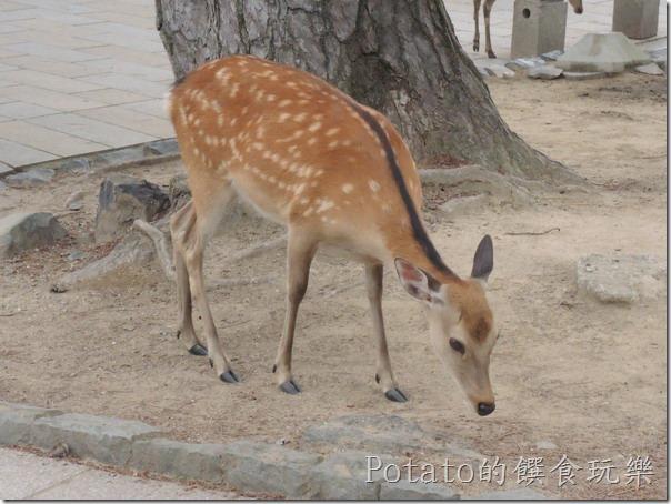 東大寺的鹿