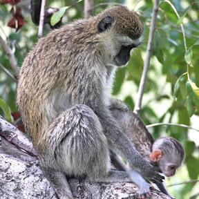Vervet Mother and Baby 2, Botswana