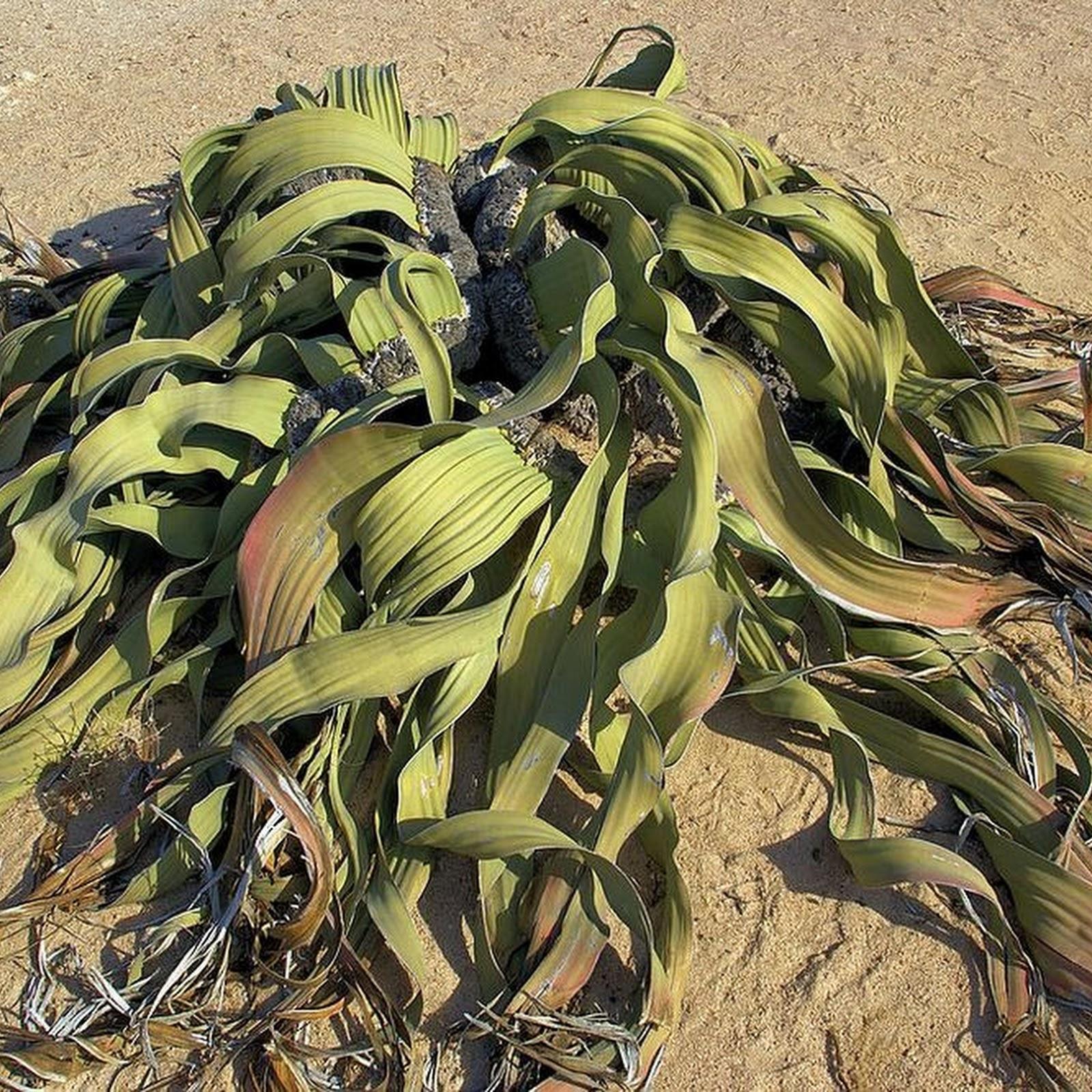 Welwitschia Mirablilis: An Extraordinary Plant