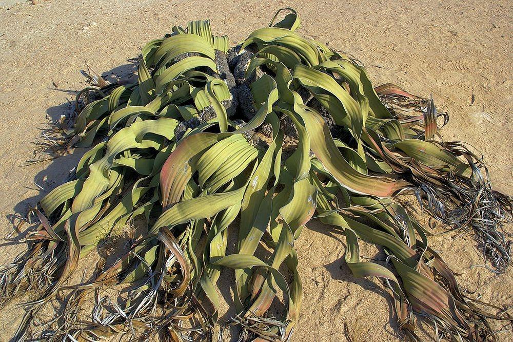 welwitschia-mirablilis-5