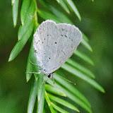 Celastrina argiolus (L., 1758). Aix-en-Provence (13, France), 28 juillet 2014. Photo : J.-M. Gayman