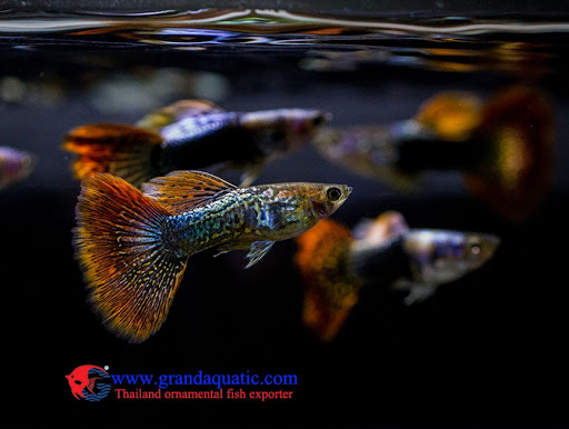 Bangkok Aqua Plus Co ,LTd  - Tropical Ornamental Aquarium Fish