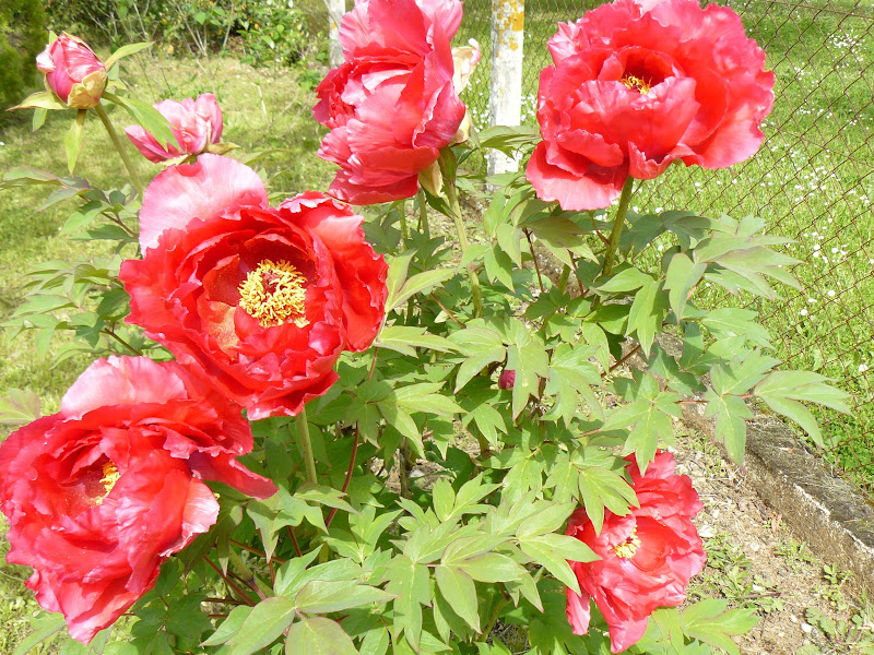 Des floraisons au jardin ... P1030263