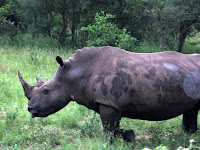 Rhino - Thornybush Reserve, Kruger NP