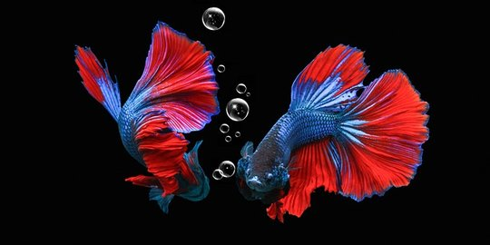 5 Daftar Aquarium Ikan Cupang Kesayangan Yang Unik