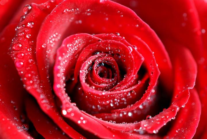 Rosas Hermosas para regalar