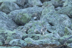 DANSE SUR ROC   Le lagopède alpin fait partie de la même famille que le grand tétras, la gelinotte ou le tétras-lyre