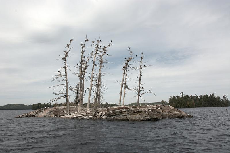 Algonquin Park dead trees