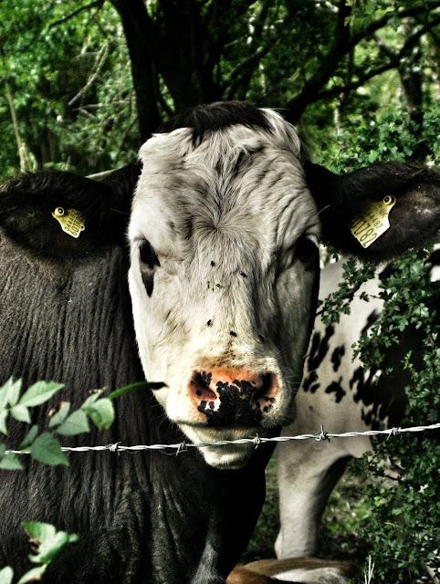 La vaca (editada)