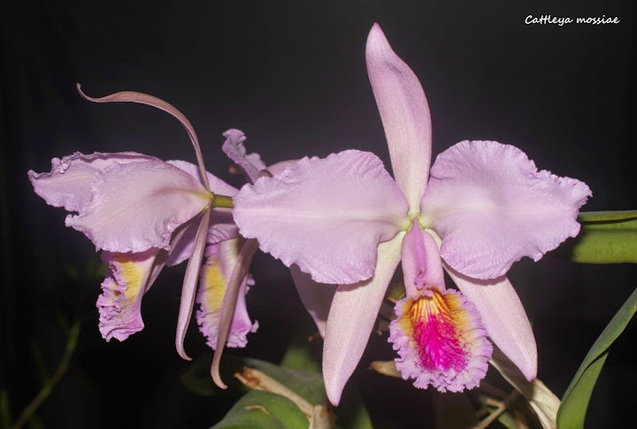 Cattleya mossiae IMG_0651b%2520%2528Medium%2529