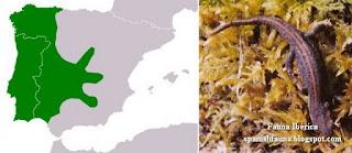 El tritón ibérico (Lissotriton boscai, antes Triturus boscai) es un endemismo ibérico distribuido por la mitad occidental de la Península Ibérica. Su distribución incluye localidades desde escasa altitud y muy próximas al mar (como ocurre en el área de Doñana) hasta zonas montañosas (hasta aproximadamente 1.800 msnm), encontrándose preferentemente en zonas entre 400 y 1.000 msnm. Spanischer Wassermolch, Triton de Bosca, Triton ibérique, Spaanse watersalamander, Bosca's Newt, Traszka iberyjska, Tritão-ibérico, Tritão-de-ventre-laranja, Испанский тритон, тритон Боска, Spansk vattensalamander