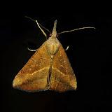 Noctuidae : Hypeninae : Hypena subvittalis WALKER, [1866]. Umina Beach (NSW, Australie), 22 octobre 2011. Photo : Barbara Kedzierski
