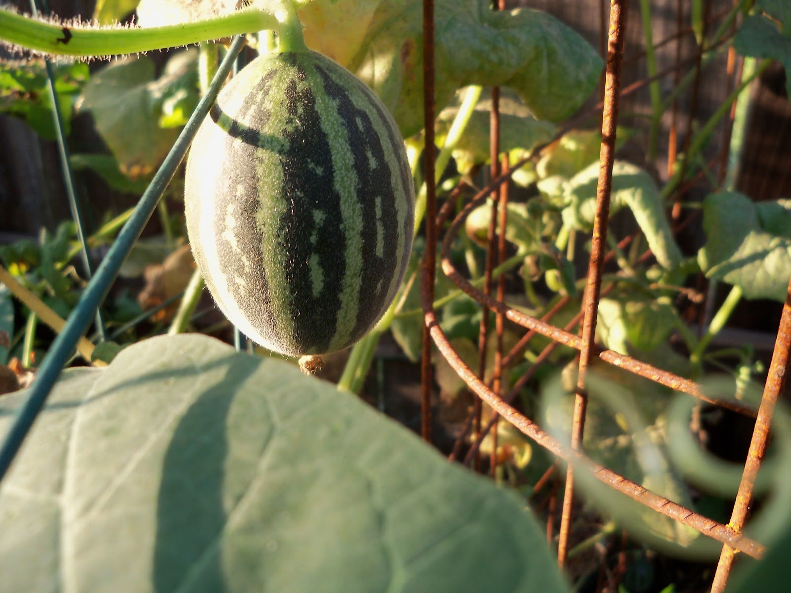 Gardening 2012 - 115_2686.JPG