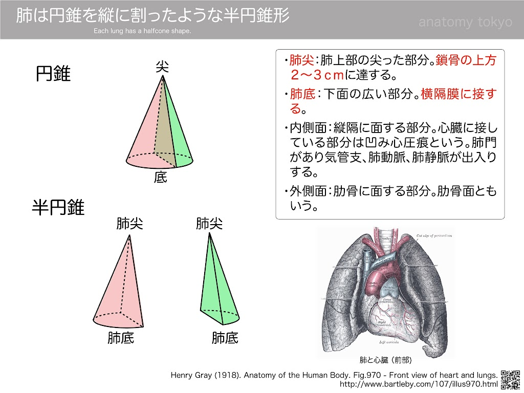 Each-lung-has-a-halfcone-shape.jpg