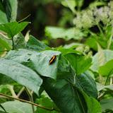 Catonephele chromis chromis (DOUBLEDAY, [1848]). Piste de Gualchan à Chical, 1600 m (Carchi, Équateur), 3 décembre 2013. Photo : J.-M. Gayman