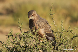 Zuid Afrika Kgalagadi