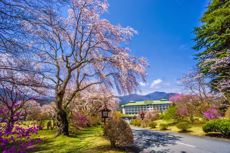 富士ビューホテル 桜 写真6