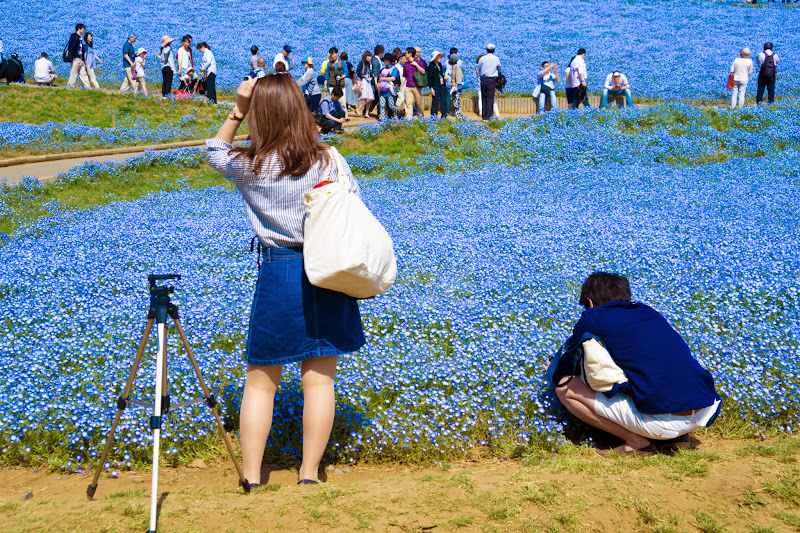 Hitachi Seaside Park Nemophila (baby blue eyes flowers) photo18
