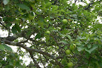 Grandmother apple tree.