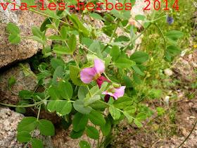 poid sauvage Pisum sativum.jpg
