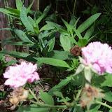 Gardening 2015 - 116_9400.JPG
