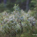 Голубика (Vaccinium uliginosum)