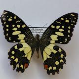 Papilio demoleus libanius, Sud de Makale, Sulawesi, août 2008. Photo : J.-M. Gayman