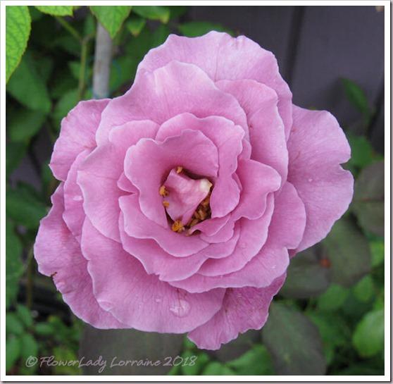 05-21-lav-rose