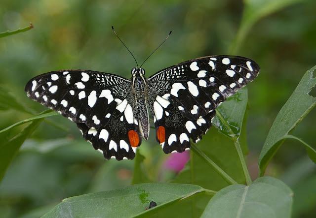 Papilio demoleus demoleus, Yangshuo, Guangxi, Chine du Sud, août 2005. Photo : J.-M. Gayman