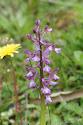 44 harlekijn orchis.jpg