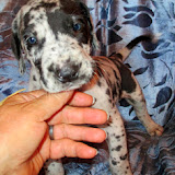 Rasmussen Family's Blue Merle Boy