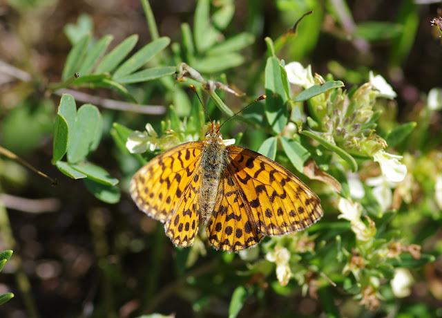 Clossiana dia (Linnaeus, 1767), femelle. Les Hautes-Courennes. Saint-Martin-de-Castillon (Vaucluse), 17 juin 2015. Photo : J.-M. Gayman