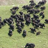 Troupeau de yaks, vallée de Muksu. 10 juillet 2007. Photo : Emmanuel Zinszner
