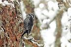 UNE CHANCE SUR...    Beaucoup d'apercevoir cet oiseau nordiste dan le Massif du Jura !