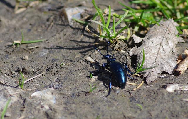 Meloidae : Meloe proscarabaeus LINNAEUS, 1758. Les Hautes-Lisières (Rouvres, 28), 26 mars 2012. Photo : J.-M. Gayman
