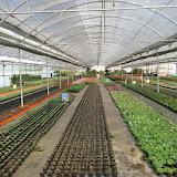 cultivo de plantas florales anuales - DSC00497.JPG