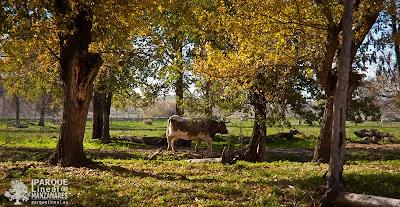 ganado-bosque-de-galeria.jpg