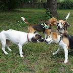 Kedvencek / Ismerkedés a Beagle Campingen – Tata, 2018