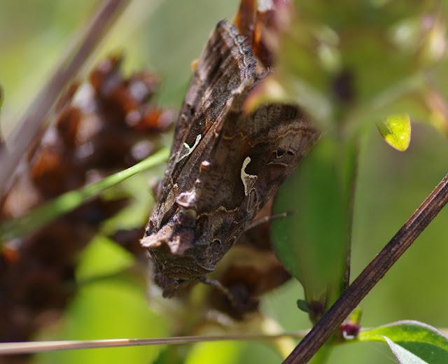 Noctuidae : Plusiinae : Autographa gamma (LINNAEUS, 1758). Les Hautes-Lisières (Rouvres, 28), 25 août 2012. Photo : J.-M. Gayman