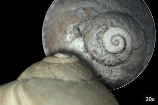 Euspira s.lat. helicina (BROCCHI 1814)