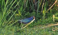 Purple Moorhen buiding a nest!