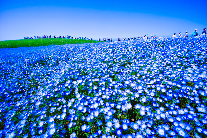 Hitachi Seaside Park Nemophila (baby blue eyes flowers) photo13