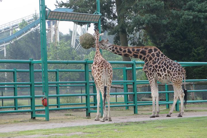 Schon von Weitem sind die Giraffen zu sehen