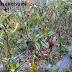 Harga Sayur Anjlok Akibat Cuaca Buruk
