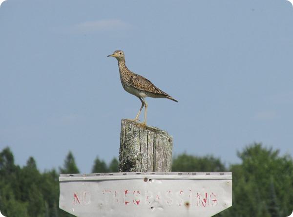 IMG_6942 Upland Sandpiper Bird (2)