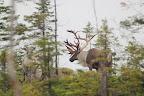 LA TÊTE LOURDE Les caribous sont présents à Terre Neuve depuis les dernières glaciations, il y a plus de 10 000 ans