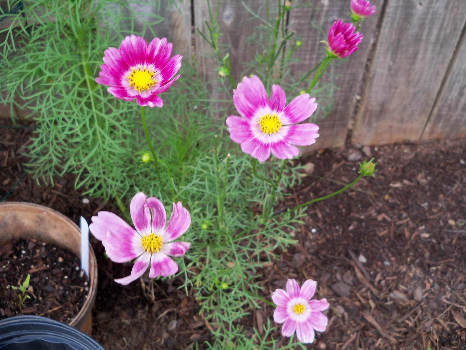 Gardening 2010, Part Two - 101_2452.JPG